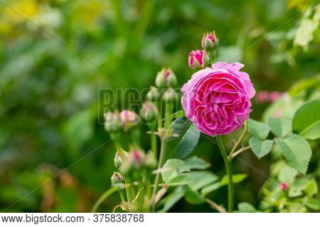 Pink Rose. Card By Mothers Day. Selective Focus.beautiful Pink Rosebush In The Garden On A Sunny Day