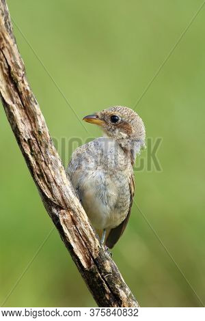 The Red-backed Shrike (lanius Collurio) A Young Bird Sitting On A Sloping Dry Branch With Green Back