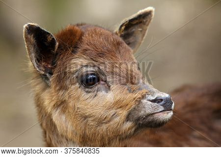 The Sika Deer (cervus Nippon) Also As The Spotted Deer Or Japanese Deer, Portrait Of The Young Anima