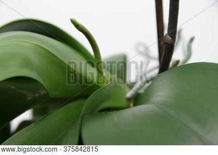 Beautiful Green Spike Of Phalaenopsis Orchid On White Background. Orchid Spike. Green Roots And Leav