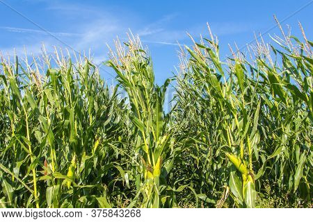 Agricultural Corn Field In The Sun With Blue Sky During The Summer