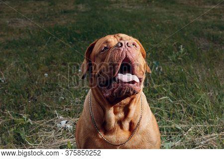 Portrait Dogue De Bordeaux. Dog Mastiff Pet.
