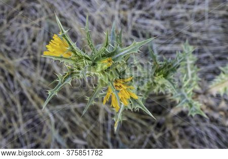 A Spanish Golden-thistle Showing Its Yellow Flowers And Thorny Leaves On A Summer Morning Near Jerus