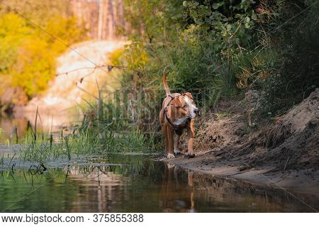 Dog In A Beautiful Natural Scene In Summer. Staffordshire Terrier Mutt Walking By The River, Telepho