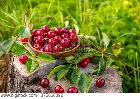 Close Up Of Pile Of Ripe Cherries With Stalks And Leaves