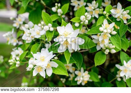 Fresh Delicate White Flowers And Green Leaves Of Philadelphus Coronarius Ornamental Perennial Plant,