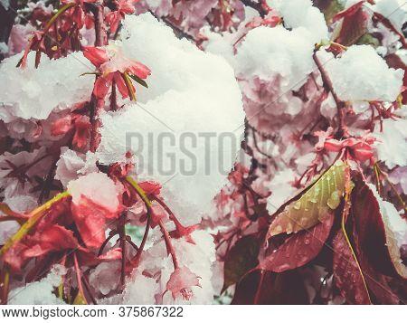 Snow On Cherry Blossom Trees. Strange Weather Behaviour