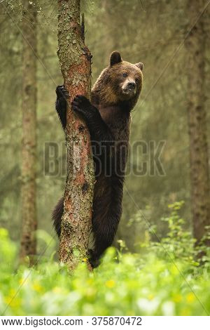 Majestic Brown Bear Climbing On Tree In Summer Forest.