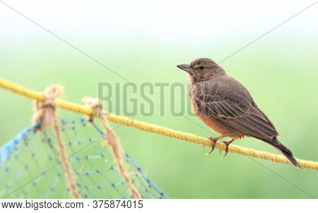 The Rufous-tailed Lark, Also Sometimes Called The Rufous-tailed Finch-lark, Is A Ground Bird Found I