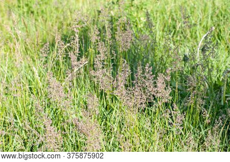 Close-up Of Purple Colored Flowers Of Bentgrass In A Meadow In Springtime