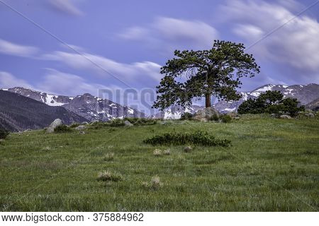 Lone Pine Tree With The Rocky Mountains In The Background