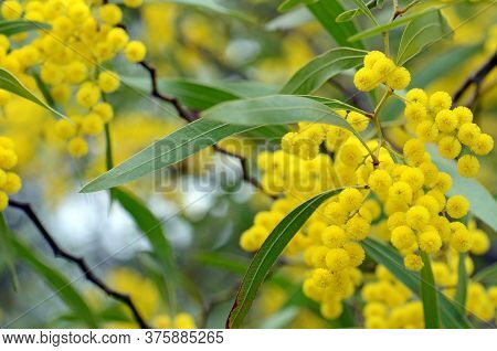 Flowers, Leaves And Distinctive Stems Of The Australian Native Zig Zag Wattle, Acacia Macradenia, Fa