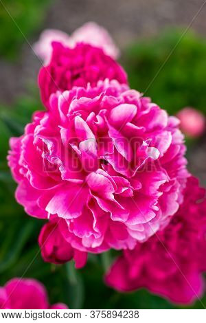 Сlose-up Of Big Beautiful Pink Flower Pion At The Garden On A Background Of Green Leaves. Spring Blo