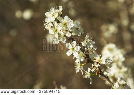 A Sprig Of A Cherry Blossom On A Brown Background, Spring Trailer