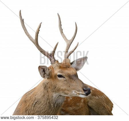 Spotted Deer Or Chitals Portrait On White Background With Clipping Path. Wildlife And Animal Photo
