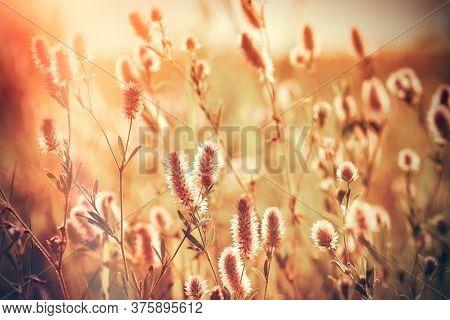Flowering Lightweight (light) Fluffy Flower In Meadow, Beautiful Nature In Meadow