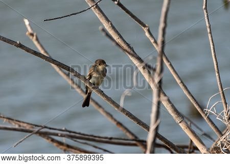 A Tiny, Brown Acadian Flycatcher Sitting On A Bare Tree Branch With A Lake Creating A Blurry Backgro