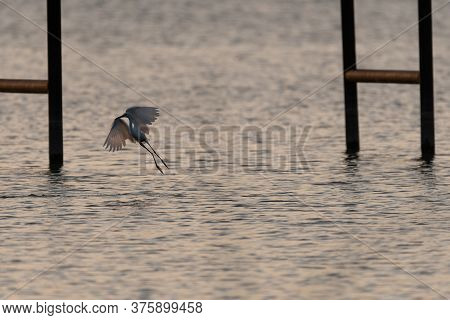 Snowy Egret Flapping Its Wings As It Comes In For A Landing In The Shallow Water Under A Pier On A L