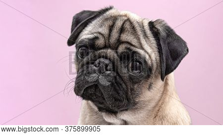 Beige Dog Pug Female Close Up. Pug Portrait With Funny Drawn Mustache