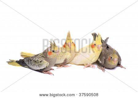 Four cockatiel parakeet babies