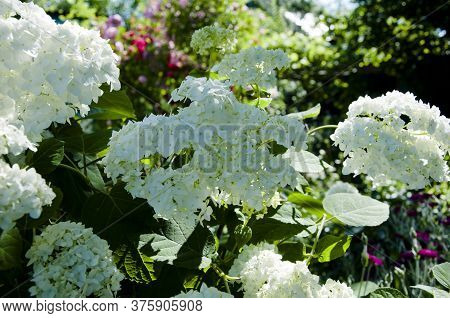 Hydrangea Flowers. Wedding Element And Floral Design. White Hydrangea Flower Blooms In Spring And Su