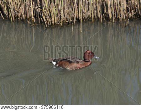 A Ferruginous Duck, Also Ferruginous Pochard, Common White-eye Or White-eyed Pochard In The World We