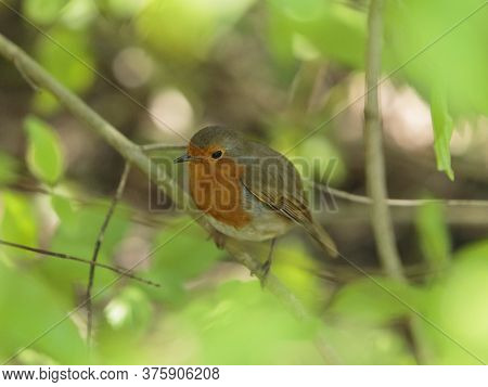 An European Robin Sheltering Between The Branches At The Wildfowl And Wetlands Trust London Wetland