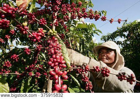 Itabela, Bahia / Brazil - April 23, 201o: Coffee Harvest In Farm Plantation In The City Of Itabela.