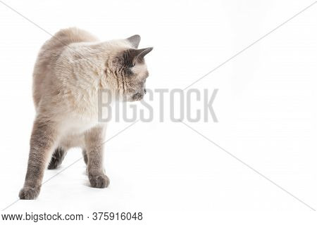 A Thai Cat Looks Back, White Background