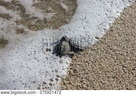 A Baby Sea Turtle Hatched From A Nest Swims Through Sea Foam As It Crawls Into The Ocean On The Mexi