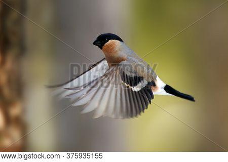The Bullfinch, Common Bullfinch Or Eurasian Bullfinch (pyrrhula Pyrrhula) Flying In Forest. A Unique