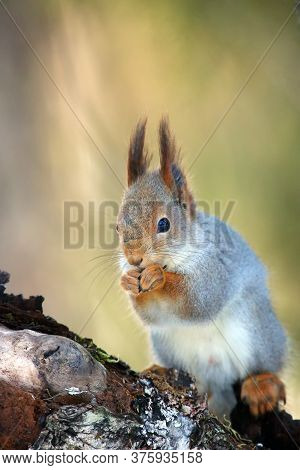 The Red Squirrel Or Eurasian Red Squirrel (sciurus Vulgaris) Sitting On The Tree. Red Squirrel With