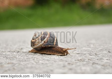 Big Snail In Shell Crawling On Road. Burgundy Snail Helix Pomatia , Burgundy Edible Snail Or Escargo