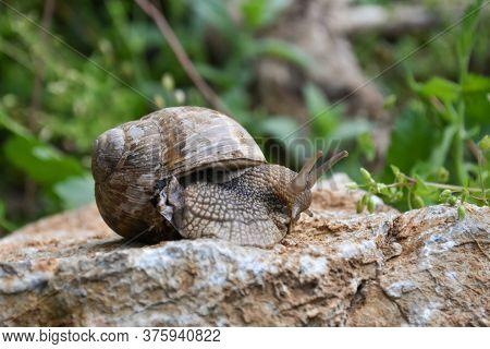 Big Snail In Shell Crawling Wet Country Road. Burgundy Snail Helix Pomatia , Burgundy Edible Snail O