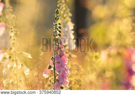 Purple foxglove sunset sunrise Nature background Nature background Nature background Flowers meadow Nature background Nature background sun Nature background morning Nature background Flower blooming Nature background Wildflowers Nature background.