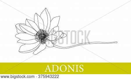 Adonis Flower. Medicinal Plants. Chamomile, Gerbera. Wildflowers. Isolated On White. Vector Illustra