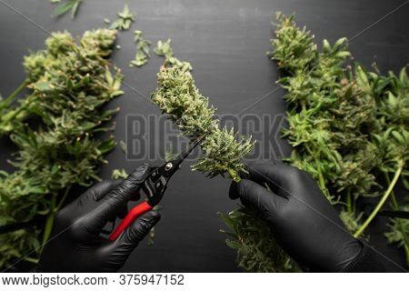 Harvest Weed Time Has Come. Trim Before Drying. Mans Hands Trimming Marijuana Bud.