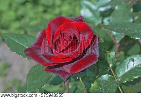 Red Rose Black Magic Blooming In Roses Garden