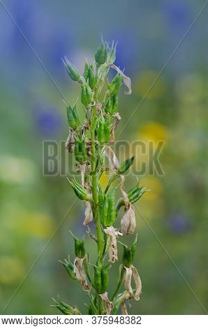 Delphinium Field To Production Seed Industry. Delphinium Flowers Seeds