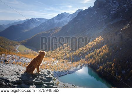 Dog In The Autumn Mountains Blue Lake. Nova Scotia Duck Tolling Retriever On Peak At Sunset. Italian