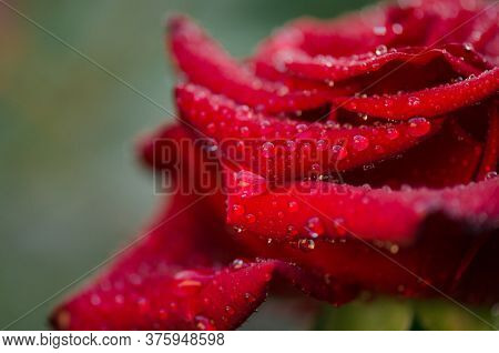 Red Rose Flower. Red Rose Flower Background