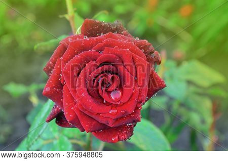 Red Roses On A Bush In A Garden. Red Rose Flower