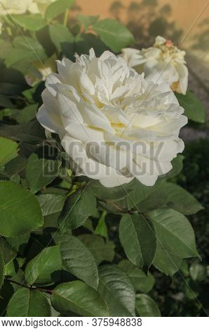 White Rose Flowers. White Rose Grows In A Rose Garden