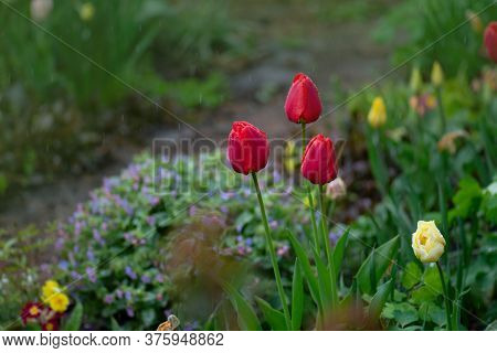 Group Of Colorful Tulips In A Beautiful Meadow With Sunset