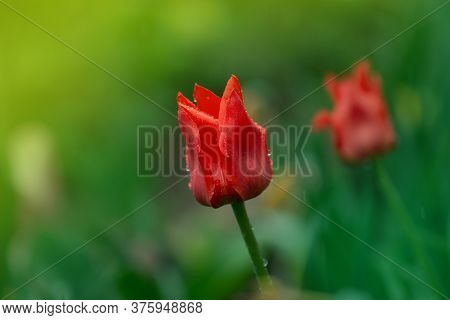 Red Tulips In Spring Landscape. Red Tulips Background.