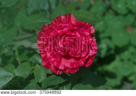Beautiful Red And White Striped Rose Red Intuition