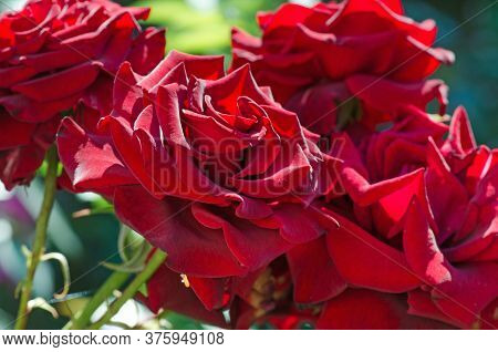 Red Rose Kardinal Blooming In Roses Garden