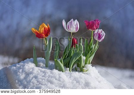 Tulips During The Last Days Of Winter. Tulips Are In The Snow