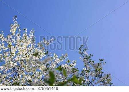 Blossom Branch Of A Cherry Tree Against A Blue Sky, Orchard Blooming In Spring. Backdrop Wallpaper B