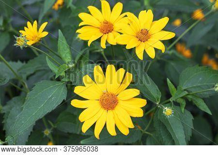 Doronicum Yellow Flowers In The Garden In Spring.